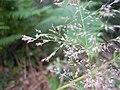 Agrostis vinealis inflorescens (2).jpg