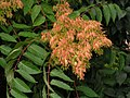 Ailanthus-altissima.jpg