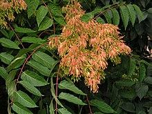 Ailanthus altissima wikip dia - Detruire souche arbre rapidement ...