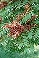 Ailanthus altissima RJB.jpg