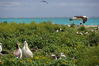 Aves de albatroz em Northwest Hawaiian Islands National Monument, atol de Midway, 2007March01.jpg