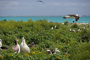 Papahānaumokuākea Marine National Monument - Laysan and short-tailed albatrosses at Northwest Hawaiian Islands National Monument