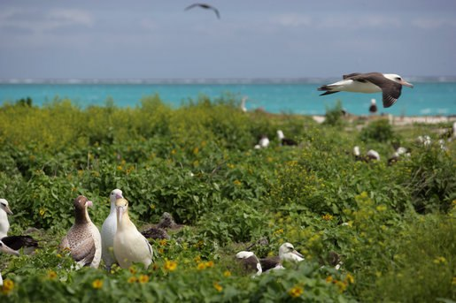 Albatross birds at Northwest Hawaiian Islands National Monument, Midway Atoll, 2007March01