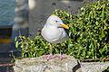 Alcatraz, Western Gull.jpg