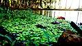Algal Pool,Kerala.jpg
