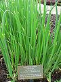 Allium cepa2.jpg