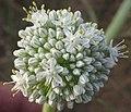 Allium cepa flower.jpg