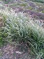Allium macrostemon.jpg
