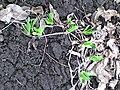 Allium nutans 1.JPG
