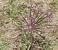 Allium oreophilum BotGardBln 20170610 F.jpg