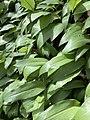 Allium ursinum 122920090.jpg