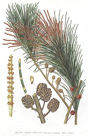 Allocasuarina - Allocasuarina littoralis drawing