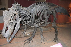 Species of Allosaurus - Mounted A. fragilis skeleton (USNM4734), which may become the new type specimen