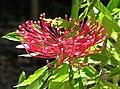 Alloxylon pinnatum -悉尼植物園 Royal Botanic Gardens, Sydney- (44615504590).jpg