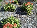 Aloe andongensis, Mt Coottha Botanical Gardens, Brisbane, Australia - panoramio.jpg