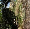 Aloe sp. long grass 2 (10506901544).jpg