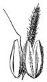 Alopecurus geniculatus geniculatus drawing.png