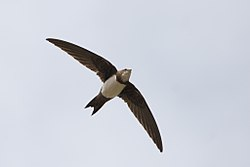Alpine Swift (4781590209).jpg