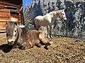 Alpine horses, Lauterbrunnen Valley, Switzerland.jpg