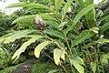 Alpinia purpurata 51zz.jpg
