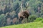 Altenfelden Rothirsch Cervus elaphus-2100.jpg