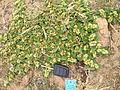 Alternanthera pungens plant3 (11681071966).jpg