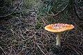 Amanita muscaria (22) (30477323640).jpg