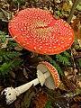 Amanita muscaria (8) (49147226568).jpg