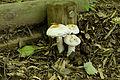 Amanita neoovoidea 02.jpg