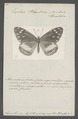 Amauris - Print - Iconographia Zoologica - Special Collections University of Amsterdam - UBAINV0274 048 03 0002.tif