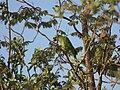 Amazona aestiva Pantanal.jpg