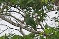 Amazona farinosa -Panama-8.jpg