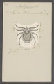 Amblyomma - Print - Iconographia Zoologica - Special Collections University of Amsterdam - UBAINV0274 073 02 0007.tif