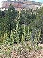 Ambrosia acanthicarpa kz01.jpg
