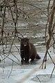 American Mink (Neovison vison) - Cambridge, Ontario 2019-02-09 (01).jpg