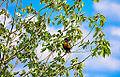 American Robin in Tree (11888298085).jpg
