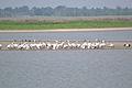 American White Pelicans (Pelecanus erythrorhynchos) (14708340821).jpg
