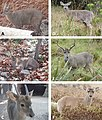 American deer (10.3897-zookeys.697.15124) Figure 2.jpg