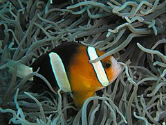 Amphiprion clarkii w ukwiale