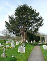 An ancient yew, Rackenford - geograph.org.uk - 1801049.jpg