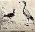 An ibis and a sandpiper standing on a dune near the sea. Col Wellcome V0020778EL.jpg