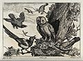 An owl being mocked by other birds. Engraving by F. Place, c Wellcome V0022142.jpg