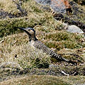 Andean Flicker (Colaptes rupicola) on the ground.jpg