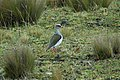 Andean Lapwing 2015-06-03 (4) (40310072511).jpg