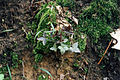 Anemone acutiloba NRCS-5.jpg