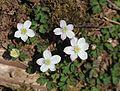 Anemone flaccida s4.jpg
