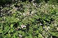 Anemone hupehensis-IMG 7150.jpg