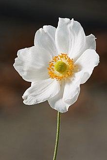 Anemone Hupehensis Wikipedia