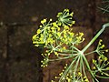 Anethum graveolens L. (AM AK309838-4).jpg