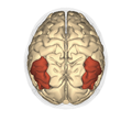 Angular gyrus - superior view2.png